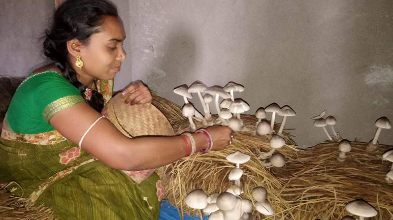 Mushroom-cultivation-in-Lanjigarh-